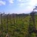 Διαφορές στον τρόπο καλλιέργειας του Ασύρτικου μεταξύ Σαντορίνης και ηπειρωτικής Ελλάδας